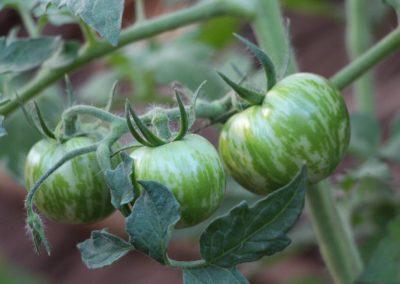 Anjajavy - Tomates