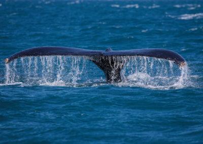 Humpback whale, Baleine à bosse